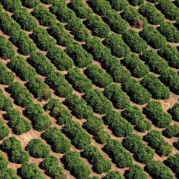 Limoneira_citrus_orchard