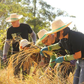 John Deere_rice_harvest