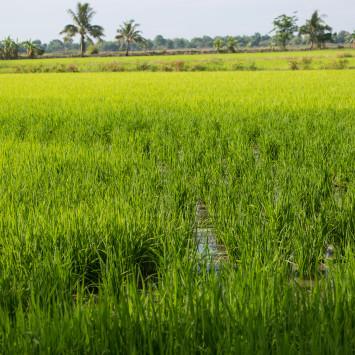 Thailand_Rice_Field