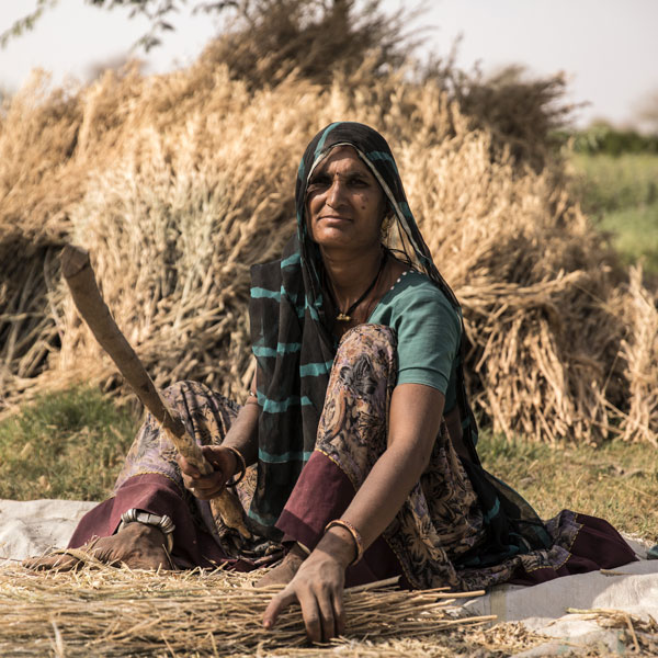Paras Devi Aheer bundles this year's harvest of wheat on her family's farm.