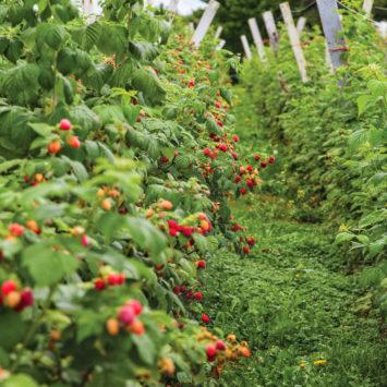 Raspberry_field